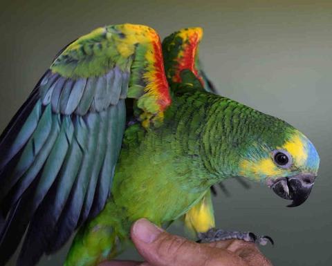 Синелобый амазон, Синелобый амазон (Amazona aestiva aestiva) - ручные птенцы из питомников Европы