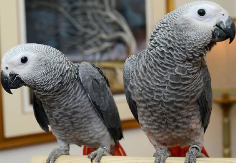 Жако, Жако - ручные птенцы из питомников Европы. Документы CITES.