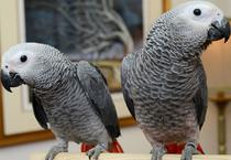 Жако - ручные птенцы из питомников Европы. Документы CITES.